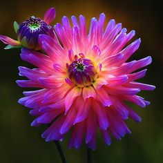 Dahlias, one of my favorite flowers.  Neon fushcia with cornflower blue tips!