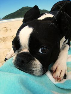 #Boston Terrier