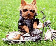 Biker Yorkie....It's almost spring...ready to ride.