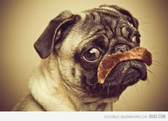 anim, pugstach, pet, funni, mustach, puppi, moustaches, dog, thing