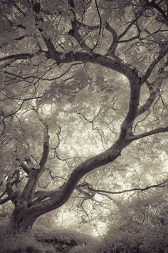 ghost tree, tree branches