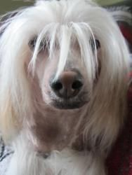 Phoniex is an adoptable Chinese Crested Dog Dog in Monroe, MI. I'm Phoenix, I am 3 years old, up to date on vaccines, neutered and housebroken. I have 1 dry eye which requires daily drops. I have lots...