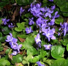 Violets...love them...went into the woods by my house and picked lots of these...