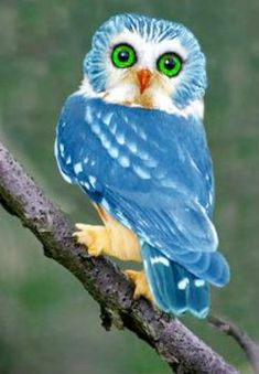 Pretty blue owl (140