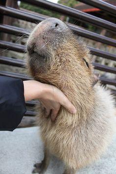 Capybara cuddling
