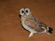 African Marsh Owl (Asio capensis). Photo by Alan Van Norman.
