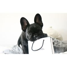 A Frenchie and Chanel....I'll take both please!