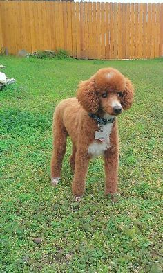Fresh hair cut Poodle, perfect neat and adorable clip for poodles that are showing