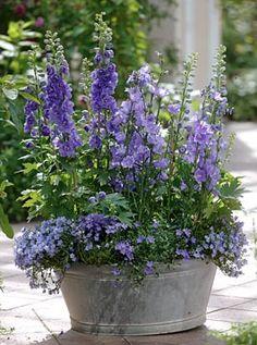 Love.   Delphiniums in  tin bucket
