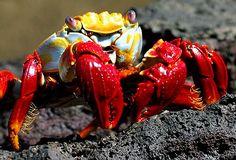 Sally Lightfoot crab from the Galapagos