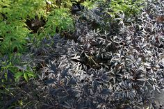 Black Lace Shrub Care | Sambucus Black Lace