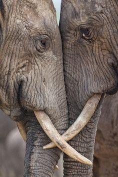 Elephant love…