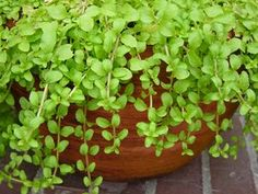 Pennyroyal plant - repells cats: to repel cats with smell, try planting rue, lavender, geraniums, wormwood, lemon thyme or pennyroyal in their favorite places. Citrus is a strong cat repellent, so try scattering orange or lemon peels around your plants.