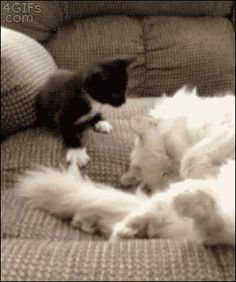 15 funniest, cat gifs, funny kittys gif, gruntman gruntman, funniest cat, beforeand, cats gif, animal gifs funny, gif cat