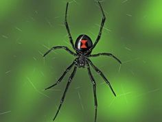 The Poisonous Black Widow Spider a frequent un-welcomed visitor at my house