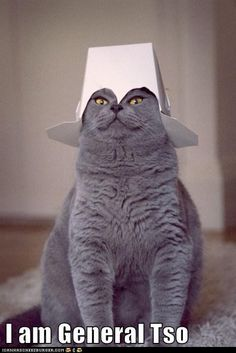 silly animals, funny captions, silly cats, funny cats, funni, bows, general tso, funny kitties, hat