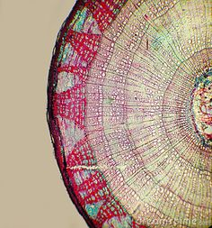 cross-section of a tree, cellular level    -royalty-free stock image from dreamstime.com  -chosen because of the intricacy of the pattern of nature that creates something as solid as a tree