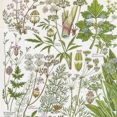 Vintage Botanical Print, Wildflower Chart, British Book Plate Illustration to Frame, Wild Celery, Parsley, Caraway botanical prints
