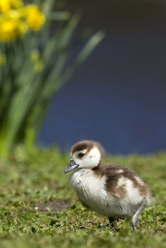 The Gosling and the Flower