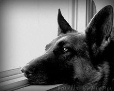 Fine Art Photography german shepherd dogblack by VanillaExtinction, $20.00