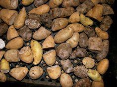 Growing potatoes in pots.