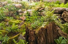 Stumpery filled w/ ferns & a dispersion of moss along the ground. The moss garden itself contains moss rocks, rotten logs, & an assortment of woodland perennials, naturally dissipated throughout for a natural unkempt look.