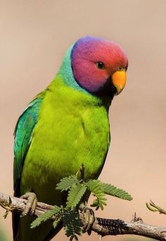From the Wild Bird Trust ~ Plum Headed Parakeet, taken at Ranathambore national park, Rajasthan