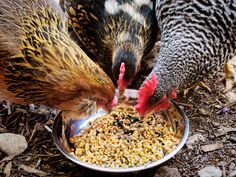 """Why and How to Ferment Your Chicken Feed. """"In short, fermenting your chicken feed leads to better eggs, better hen health, and lower feed costs. Less feed also means less poop, which none of us can complain about!"""""""