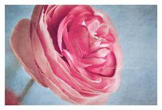 Pink Floral Photo Spring Ranunculus Digital by BitsofLifeImages, $30.00