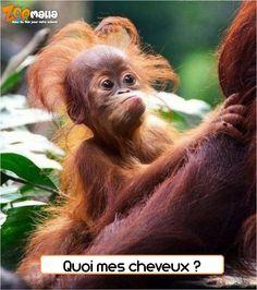 #humour #funny #singe #monkey #badhairday #animalerie #pet #zoomalia http://www.zoomalia.com