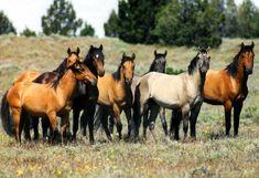 animals, mustang hors, mustangswild hors, herd, grey, beauti, wild mustangs, medium, wild horses