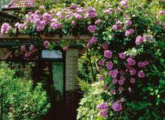 flower garden, climb rose, cottag garden, dream garden, angel face, climb angel, face rose, angels, climbing flowers on fence