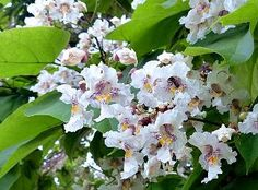 Catalpa Tree  http:/