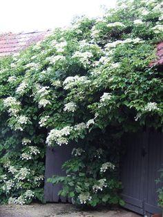 Climbing Hydrangea...great vine for the shade.