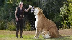 largest cat in the world - Tiger named Hercules ; 11 ft long and 4 ft tall, weighs 922 lbs