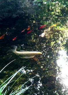 koi fish, pond fish, white koi, fish pond