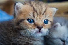 Toyger, Kitten