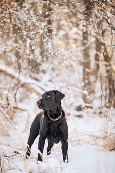 Black Lab in snow |
