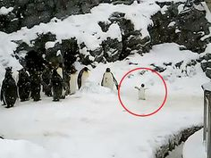 The Happiest Penguin Ever! The little one just jumps around for joy because of the snow.