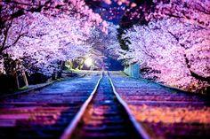 Photograph Sakura Line by Masato Mukoyama on 500px