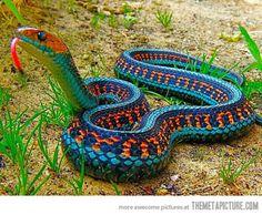 California Red-Sided Garter Snake…beautiful colors!!!! Harmless beauty