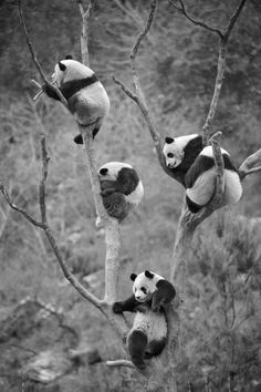 Atletici Panda ?