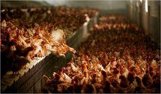 The Humane Farming Myth « Woodstock Farm Animal Sanctuary