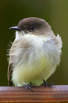 Eastern Phoebe - (photo: Pancama): soft colours, powerful little beauty, song of an angel! <> (birds, birdhouses, bird cages, feathered friends)