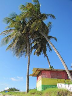 Under the coconut palms - St kitts #Caribbean