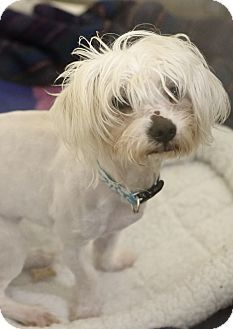 Manchester, NH - Maltese Mix. Meet Sparky a Dog for Adoption.