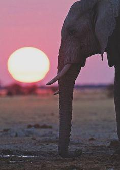 Elephant at sunset (found on Tumblr)