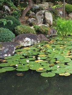 Water Lilies 睡蓮