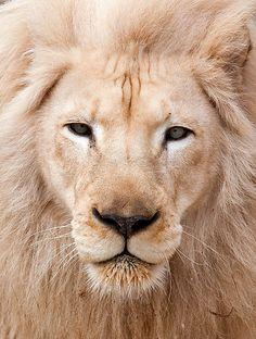 Lion face closeup.