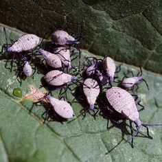 Stop Squash Bugs in Your Garden